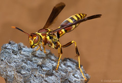 Golden Paper Wasp (dmcantrell) Tags: macro animals nikon wasp insects extensiontubes d80 abigfave 70300vr specinsects nikkor70300mmf4556gifedafsvr 200806297396e11024 goldenpaperwasp
