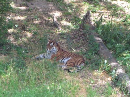 Minnesota Zoo tiger