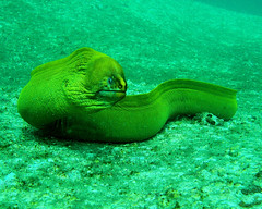 Australian Marine Life - Moray Eel (Lao Wu Zei) Tags: life nature animals interesting marine underwater australian scuba diving 300views unusual  morayeel  marinelife