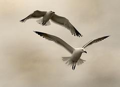 Vuelo sincronizado (PAUROPA) Tags: summer animal galicia ave verano gaviotas blanconegro duotono blackwhitephotos canonpoweshots5is