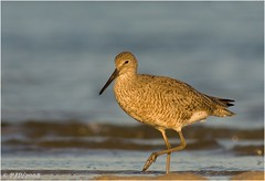Willet in Morning Light... (Light Your World Photography) Tags: morning light beach nature beauty river birding soe willet naturesfinest catoptrophorussemipalmatus canon30d mywinners canon400f56l