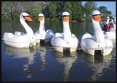 Paddleboat Swans At Belle Isle Park (Color Version)--Detroit MI (pinehurst19475) Tags: park city urban reflection water reflections swan michigan detroit lagoon swans recreation paddleboat belleisle paddleboats puredetroit belleislepark puremichigan paddleboatswans