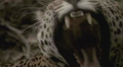 38 jaguar
