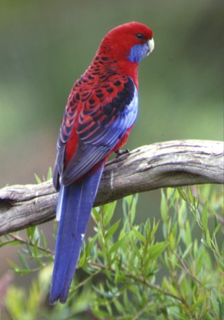 nature animals of rosella parrot wikipedia