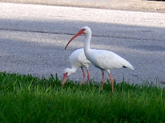 P8030001 (gruntersdad) Tags: birds ibis mylawn