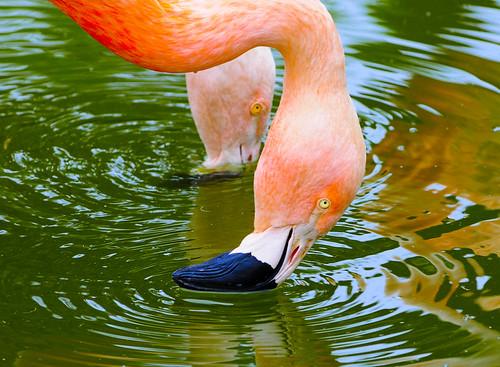 フリー画像| 動物写真| 鳥類| フラミンゴ|        フリー素材|