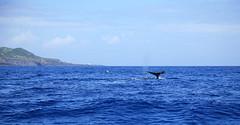 Spermwhale & babies near Calheta de Nesquim (ernst schade) Tags: de do watching hunting jorge pico whale whales so prainha azores lajes whalers faial calheta cabeo ribeiras nesquim silvadas