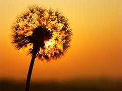 Dandy at Dawn (algo) Tags: sunrise photography dawn topf50 topv333 bravo dandelion algo topf100 dandy dandelions 100f 50f 200850plusfaves