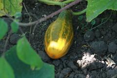 Dosakaya or Yellow Cucumber at Fresh Run Farm