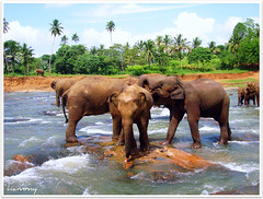 `the love trio. (`hammy [away]) Tags: trees sun elephant love water fun searchthebest sony palm orphanage explore sri lanka srilanka trio hammy n1 pinnawela dscn1