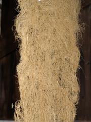 intermediate wheat grass