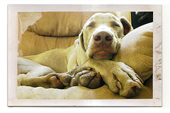 (saikiishiki) Tags: sleeping portrait cute love beauty thanks chair sweet sleep gorgeous dream adorable cutie weimaraner sweetie omoshiroi weim mukha fakepolaroid squidoo 20f thelittledoglaughed endlessdeep