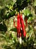 Quintral o Cutral (Mono Andes) Tags: tristerixcorymbosus quintral floranativadechile loranthaceae wildflower flor flores chilecentral casa florsilvestre