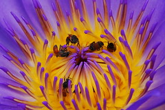 feast (totomai) Tags: flower macro yellow feast fire lily violet inner bee concentrate bigmomma cy2 privacyplease challengeyouwinner vosplusbellesphotos