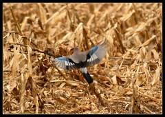 Ghiandaia (giansacca) Tags: birds animals jay uccelli animali topic oiseaux naturelovers eurasianjay geai garrulusglandarius gayo ghiandaia arrendajo geaideschenes thewonderfulworldofbirds slbflying
