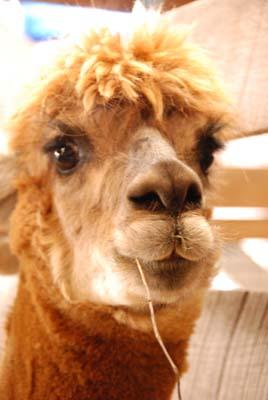 cinnamon alpaca