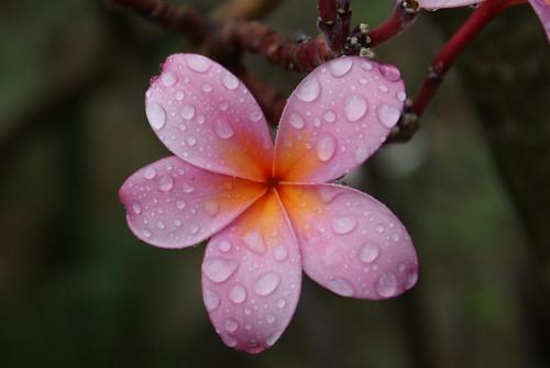 Wet Pink Plumeria