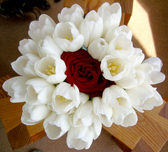 A Single Rose Flanked by White Tulips (jayessbark) Tags: flowers red roses plants white tulips bunch
