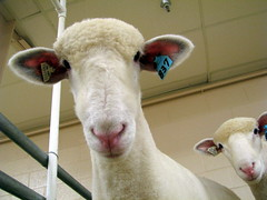 100 Things to see at the fair #95 Sheep building
