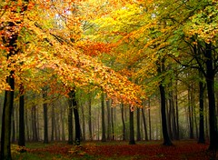Autumn Beech (algo) Tags: life uk autumn trees light red england brown fall nature colors beautiful beauty leaves yellow topv111 misty fog forest wow photography gold interestingness cool topf50 topv333 bravo europe colours shadows searchthebest chilterns herbst best topf300 explore topv5555 trunks algo topv3333 topv4444 topf100 frontpage topf200 mothernature beech topv7777 chilternhills wendoverwoods chilternforest 500f lautumn 50f explore151 8115 colorphotoaward infinestyle 200850plusfaves elitephotography saariysqualitypictures saariyqualitypictures bestofmywinners