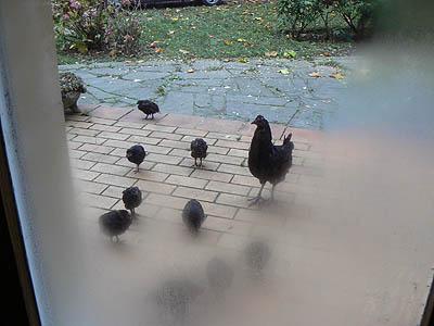 les poules le matin.jpg