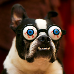 Crazy Eyes Sam ( Just me... ) Tags: boston bostonterrier terrier crazyeyes