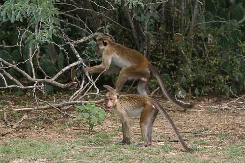Macaca sinica (Toque Macaque)