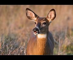 (^RedpixL) Tags: canada nature montreal wildlife deer chevreuil whitetailed cerfdevirginie canonextenderef14xii ef70200mmf4lisusm
