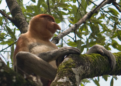 Long-nose monkey relaxes