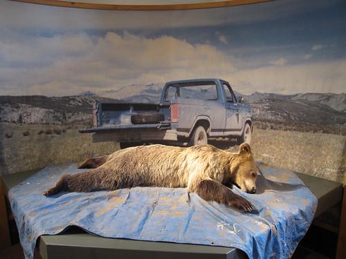 montana - dead fake bear