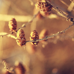 {golden} (Leaca's Philosophy) Tags: blur square golden bokeh branches sprucecone