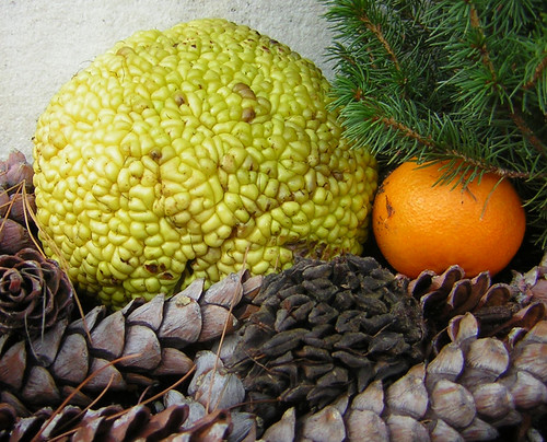 Osage orange (Maclura pomifera) and friends
