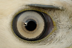 Buzzard (Buteo buteo) (m. geven) Tags: detail macro eye closeup eyebrow buzzard buteobuteo oog gelderland buizerd nld roofvogel musebussard nederlandthenetherlands lightmorph firstwinter interestingness446 wenkbrauw specanimal busevariable ringvangst eerstewinter agesign lichtevorm caughtforbanding gemeenteduiven leeftijdskenmerk lichtoog