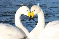 Whooper Loveheart (Jacqui Herrington:) Tags: bird love nature scotland heart wildlife swans dumfries caerlaverock whooper cygnuscygnus digitalcameraclub naturescreations