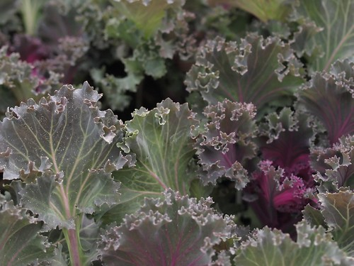 K is for Kale, Cabbages Cousin