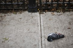 (maneeacc) Tags: ny beautiful death decay gorgeous upperwestside pegion maneeacc fallenart forbackup12092010
