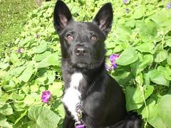 Lexus as a puppy (LisaKurr) Tags: dog mutt purple shelter lexus blackandwhitedog bordercolliemix mixbreed huskymix