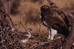 Martial with chick (Polemaetus bellicosus) (Martial Mike) Tags: birds nest eagle martial chick raptor greenery botswana polemaetusbellicosus jwaneng polemaetus bellicosus