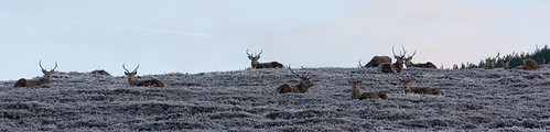 Red deer stags (3)