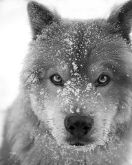 (brianchapman) Tags: blackandwhite dog snow tahoe chow