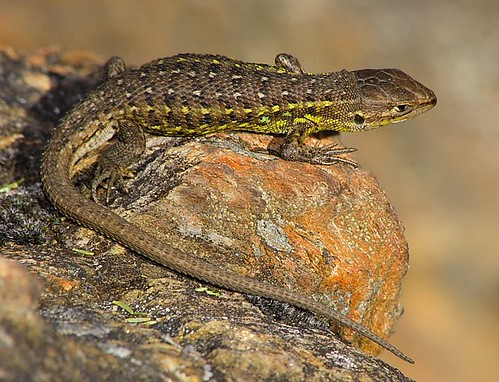 Flickriver: Photoset 'Herpetofauna' by Albano.