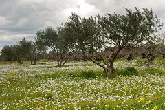 Olive-trees, grape-vines and daisies (macropoulos) Tags: daisies countryside 500v20f greece crete canonef35mmf2 gettyimages olivetrees grapevines naturesfinest canoneos400d gettyimages:date_added=pre20110607