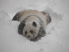 Video:  Mei sleds down her snowy hill! (RoxandaBear) Tags: winter snow zoo march video stomach explore sledding dcist nationalzoo mei sliding snowfall 2009 videos rolling pandas 1001 meixiang fallingsnow giantpandas 3209 pandayard impressedbeauty yard1 pandasinthesnow