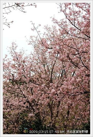 09.03.15 天元宮賞吉野櫻 (14)