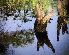 Duplicity (E. Olson) Tags: reflection tree nature water pareidolia olympus swamp cypress 50200mm zuiko oly e510 zd mnagetrois cypressknees