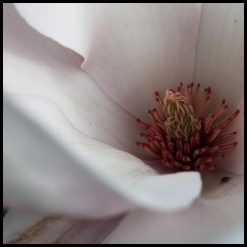 Magnolia1x1C20
