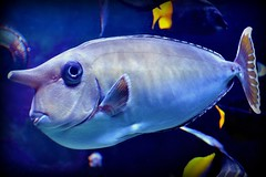 Fish (blmiers2) Tags: blue fish newyork nature animal animals nikon explore tang d3100 bluespineunicornsurgeonfish largeunicorntang greennasotang blm18 blmiers2