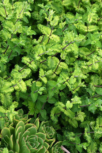 teucrium scorodonia crispum marginatum