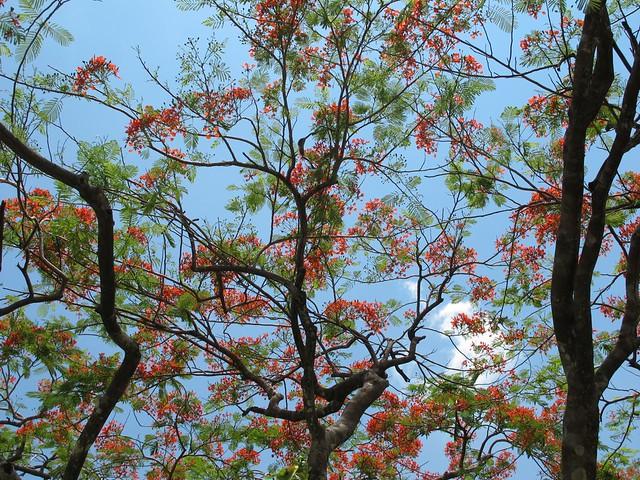 Uma acácia rubra em flor no templo Bahá´i
