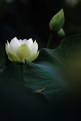 White Lotus (kth517) Tags: australia victoria yarrajunction 澳洲 荷花 whitelotus bluelotuswatergarden 白荷花 維多利亞州